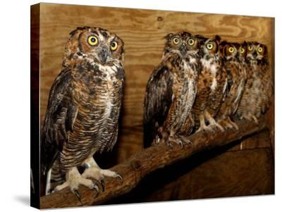 Five Great Horned Owls--Stretched Canvas Print