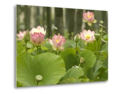 Blooming Water Lotuses Carpet Echo Park Lake--Metal Print