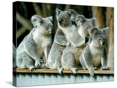 A Group of Koalas Gather Atop a Fence--Stretched Canvas Print