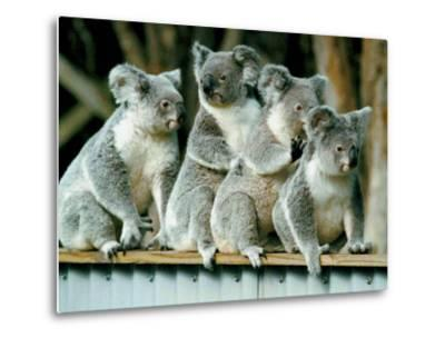A Group of Koalas Gather Atop a Fence--Metal Print