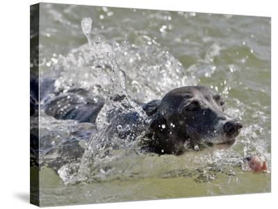 A Mini Italian Greyhound Named Gi--Stretched Canvas Print