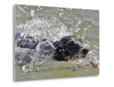 A Mini Italian Greyhound Named Gi--Metal Print