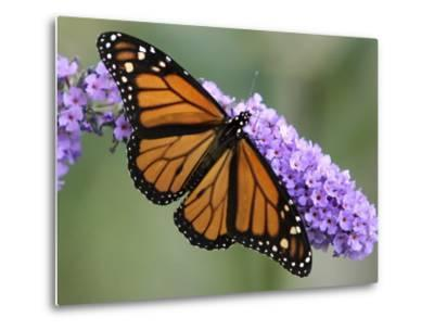 A Monarch Butterfly Spreads its Wings as It Feeds on the Flower of a Butterfly Bush--Metal Print
