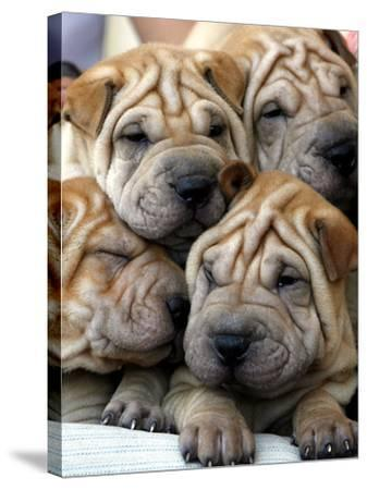 Chineses Shar-Pei Puppies are Displayed for Sale--Stretched Canvas Print
