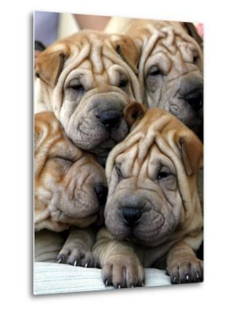 Chineses Shar-Pei Puppies are Displayed for Sale--Metal Print