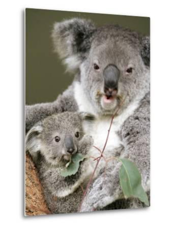 An 8-Month-Old Koala Joey--Metal Print