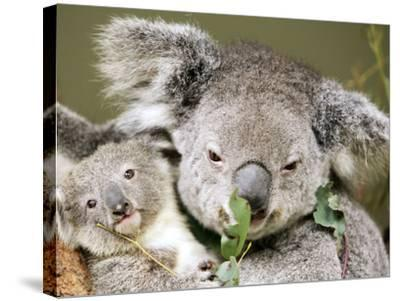 An 8-Month-Old Koala Joey--Stretched Canvas Print