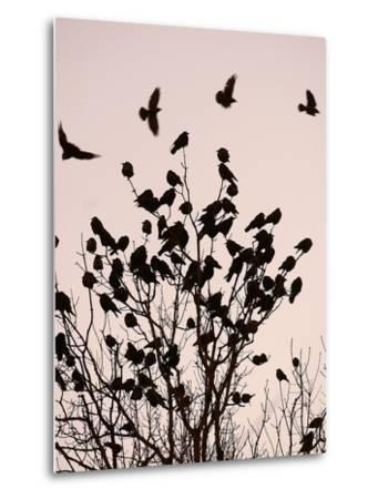 Crows Fly Over a Tree Where Others are Already Camped for the Night at Dusk in Bucharest Romania--Metal Print