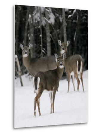 A Small Herd of White-Tailed Deer Wait at the Edge of the Woods--Metal Print