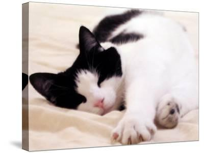 Pet of the Week: Puss Puss Cat--Stretched Canvas Print
