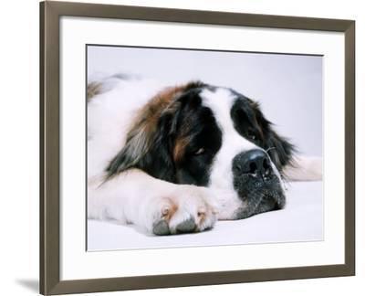 St. Bernard Dog, September 1976--Framed Photographic Print