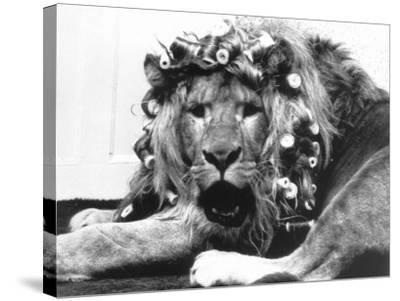 Sullivan the Lion with His Hair in Curlers at Knarsborough Zoo in Yorkshire--Stretched Canvas Print