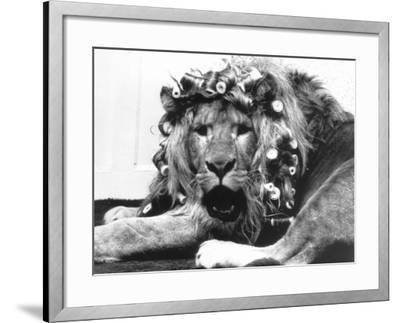 Sullivan the Lion with His Hair in Curlers at Knarsborough Zoo in Yorkshire--Framed Photographic Print