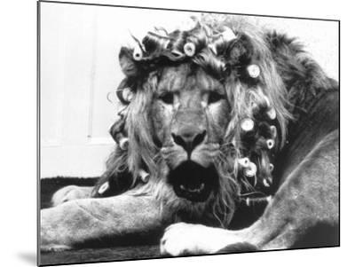 Sullivan the Lion with His Hair in Curlers at Knarsborough Zoo in Yorkshire--Mounted Photographic Print