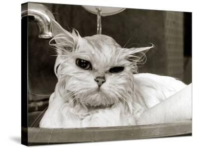 Bella the Persian Cat Gets a Soaking to Prepare Her for Shows, April 1985--Stretched Canvas Print