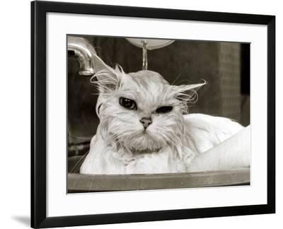 Bella the Persian Cat Gets a Soaking to Prepare Her for Shows, April 1985--Framed Photographic Print