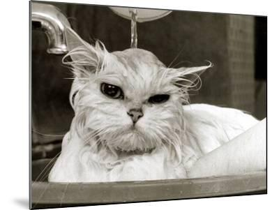 Bella the Persian Cat Gets a Soaking to Prepare Her for Shows, April 1985--Mounted Photographic Print