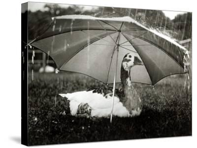 A Goose Takes Cover from the Heavy Rainfall Underneath an Umbrella, Dorset, October 1968--Stretched Canvas Print