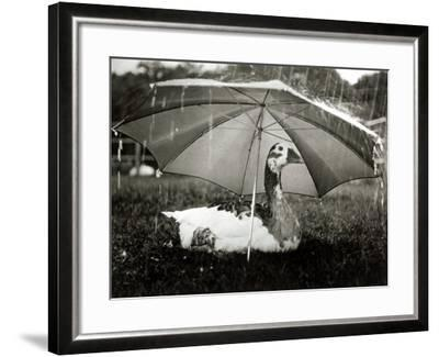 A Goose Takes Cover from the Heavy Rainfall Underneath an Umbrella, Dorset, October 1968--Framed Photographic Print