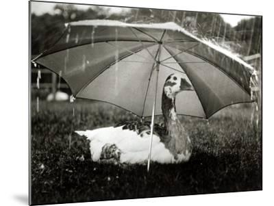 A Goose Takes Cover from the Heavy Rainfall Underneath an Umbrella, Dorset, October 1968--Mounted Photographic Print