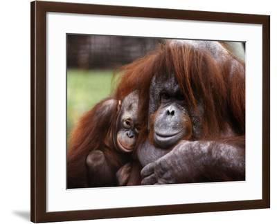 Orang-Utan Mother and Baby, April 1991--Framed Photographic Print