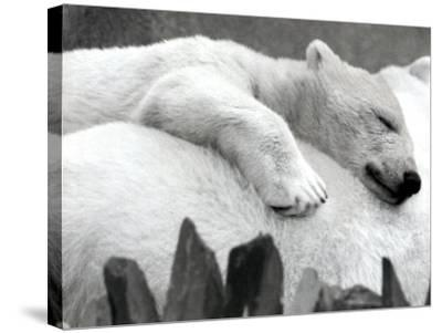 Pipaluk the Baby Polar Bear Sizzling in the Summer Hear--Stretched Canvas Print