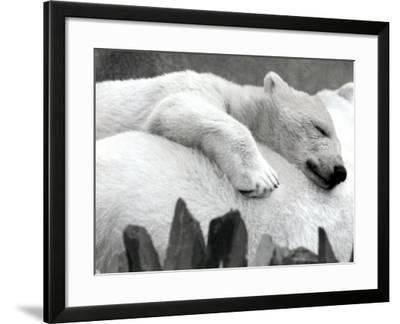 Pipaluk the Baby Polar Bear Sizzling in the Summer Hear--Framed Photographic Print