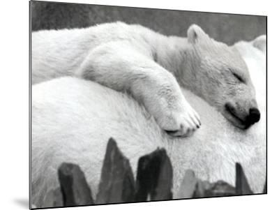 Pipaluk the Baby Polar Bear Sizzling in the Summer Hear--Mounted Photographic Print