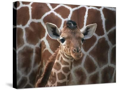Baby Giraffe at Whipsnade Wild Animal Park--Stretched Canvas Print