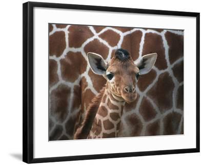 Baby Giraffe at Whipsnade Wild Animal Park--Framed Photographic Print