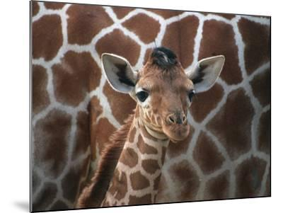 Baby Giraffe at Whipsnade Wild Animal Park--Mounted Photographic Print