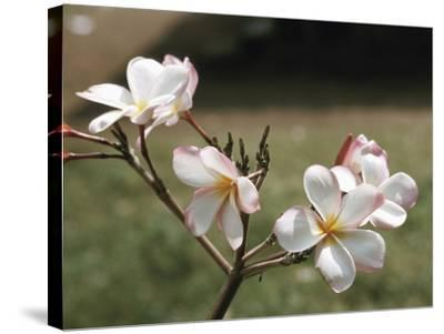 Blooming Pink and White Blossoms Growing on Twig--Stretched Canvas Print