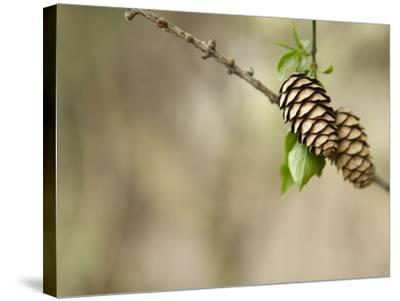 Two Pinecones on Tree Bough--Stretched Canvas Print
