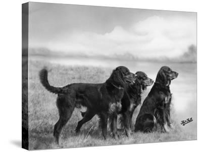 Jack Judy and Jill of Cromux Three Gordon Setters in a Field Owned by Eden-Thomas Fall-Stretched Canvas Print