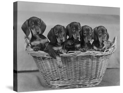 Basket of Puppies-Thomas Fall-Stretched Canvas Print