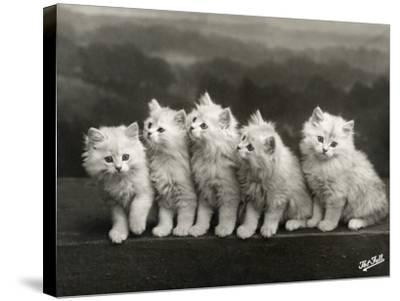 Row of Five Adorable White Fluffy Chinchilla Kittens-Thomas Fall-Stretched Canvas Print