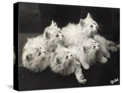 Group of Five Adorable White Fluffy Chinchilla Kittens Lying in a Heap Looking up at Their Owner-Thomas Fall-Stretched Canvas Print