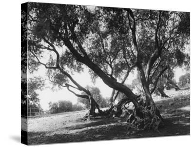 Olive Trees (Olea Europea), Tivoli--Stretched Canvas Print
