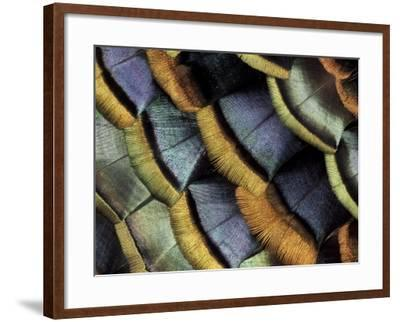 South American Ocellated Turkey-Darrell Gulin-Framed Photographic Print