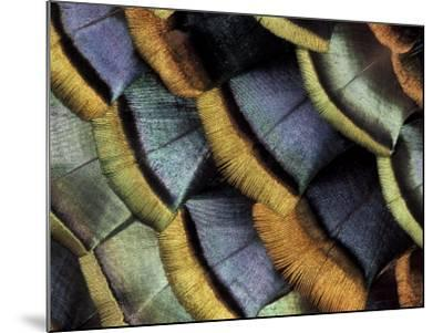 South American Ocellated Turkey-Darrell Gulin-Mounted Photographic Print