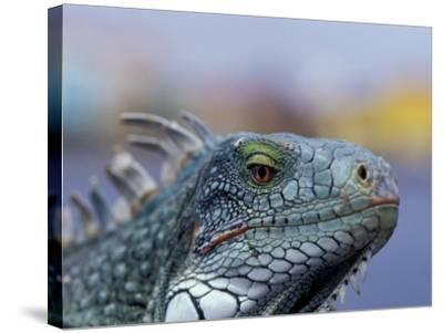 Iguana, Curacao, Caribbean-Greg Johnston-Stretched Canvas Print