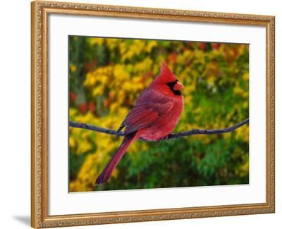 Male Northern Cardinal in Autumn-Adam Jones-Framed Photographic Print