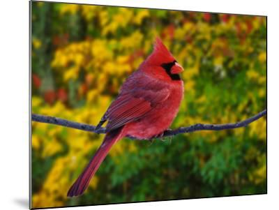 Male Northern Cardinal in Autumn-Adam Jones-Mounted Photographic Print