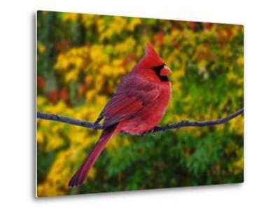 Male Northern Cardinal in Autumn-Adam Jones-Metal Print