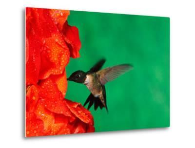 Male Ruby-Throated Hummingbird Feeding on Gladiolus Flowers-Adam Jones-Metal Print