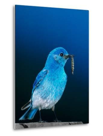 Mountain Bluebird in Yellowstone National Park, Wyoming, USA-Charles Sleicher-Metal Print