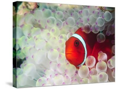 Spinecheek Anemonefish, Bulb-tipped Anemone, Great Barrier Reef, Papau New Guinea-Stuart Westmoreland-Stretched Canvas Print