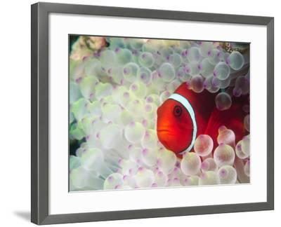 Spinecheek Anemonefish, Bulb-tipped Anemone, Great Barrier Reef, Papau New Guinea-Stuart Westmoreland-Framed Photographic Print