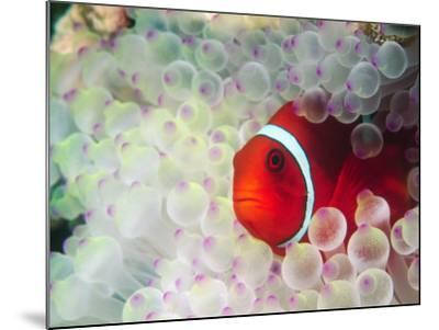 Spinecheek Anemonefish, Bulb-tipped Anemone, Great Barrier Reef, Papau New Guinea-Stuart Westmoreland-Mounted Photographic Print