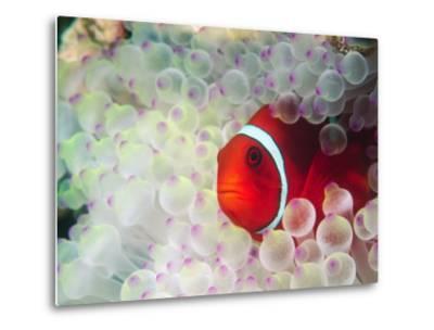 Spinecheek Anemonefish, Bulb-tipped Anemone, Great Barrier Reef, Papau New Guinea-Stuart Westmoreland-Metal Print